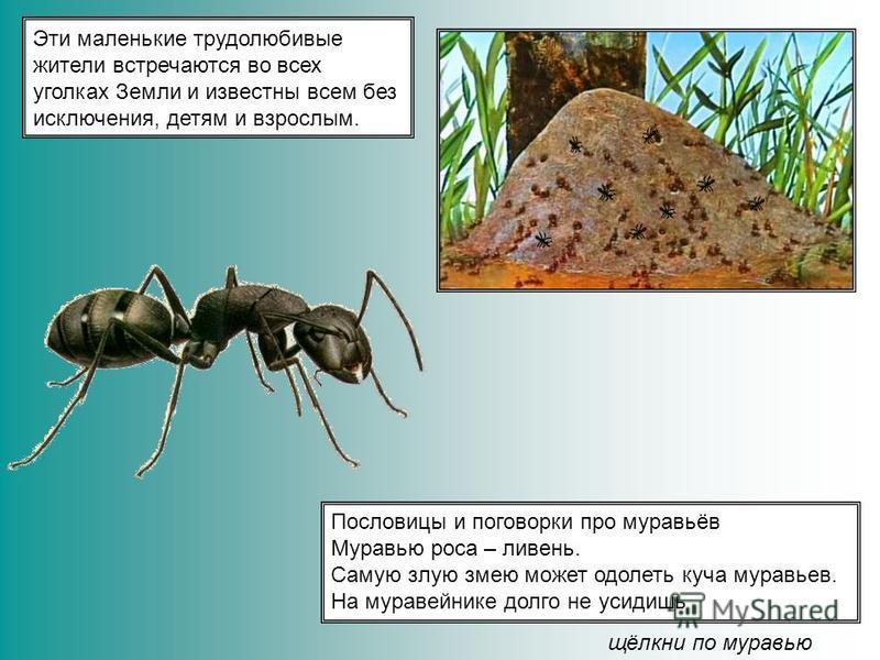 Эти маленькие трудолюбивые жители встречаются во всех уголках Земли и известны всем без исключения, детям и взрослым. Пословицы и поговорки про муравьёв Муравью роса – ливень. Самую злую змею может одолеть куча муравьев. На муравейнике долго не усиди