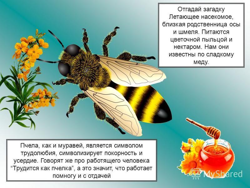 Пчела, как и муравей, является символом трудолюбия, символизирует покорность и усердие. Говорят же про работящего человека Трудится как пчелка, а это значит, что работает помногу и с отдачей Отгадай загадку Летающее насекомое, близкая родственница ос