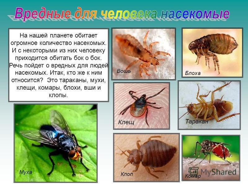 На нашей планете обитает огромное количество насекомых. И с некоторыми из них человеку приходится обитать бок о бок. Речь пойдет о вредных для людей насекомых. Итак, кто же к ним относится? Это тараканы, мухи, клещи, комары, блохи, вши и клопы. Блоха