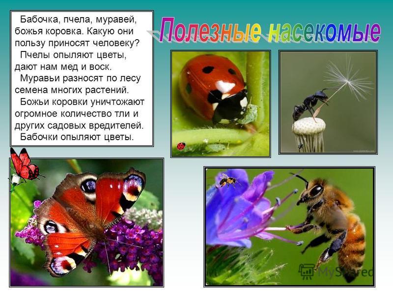 Бабочка, пчела, муравей, божья коровка. Какую они пользу приносят человеку? Пчелы опыляют цветы, дают нам мед и воск. Муравьи разносят по лесу семена многих растений. Божьи коровки уничтожают огромное количество тли и других садовых вредителей. Бабоч