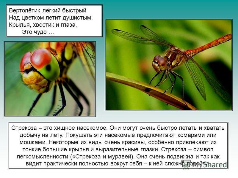 Вертолётик лёгкий быстрый Над цветком летит душистым. Крылья, хвостик и глаза. Это чудо … Стрекоза – это хищное насекомое. Они могут очень быстро летать и хватать добычу на лету. Покушать эти насекомые предпочитают комарами или мошками. Некоторые их