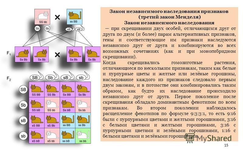 Закон независимого наследования признаков (третий закон Менделя) Закон независимого наследования при скрещивании двух особей, отличающихся друг от друга по двум (и более) парам альтернативных признаков, гены и соответствующие им признаки наследуются