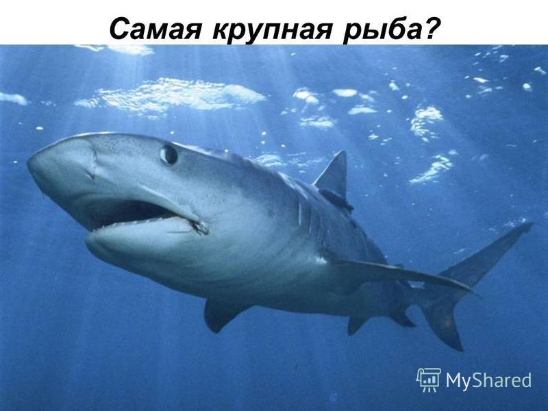 Самая крупная рыба?