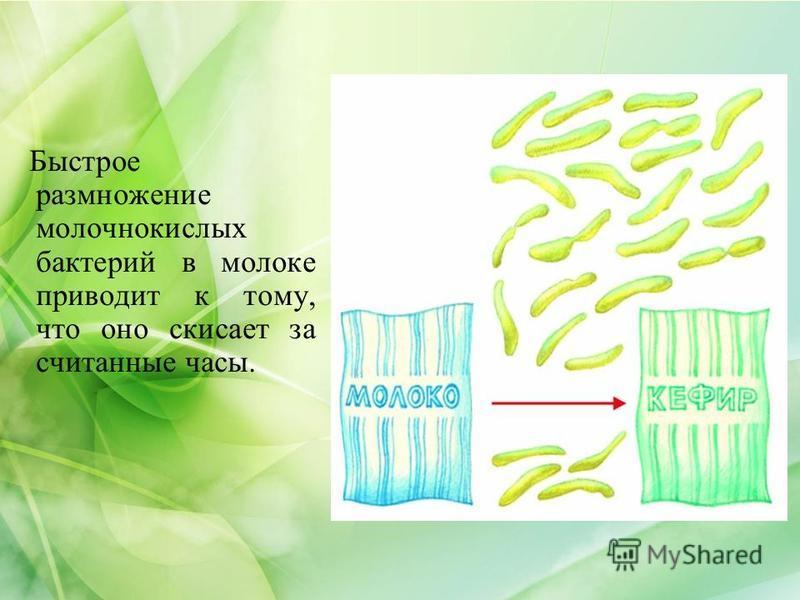 Быстрое размножение молочнокислых бактерий в молоке приводит к тому, что оно скисает за считанные часы.