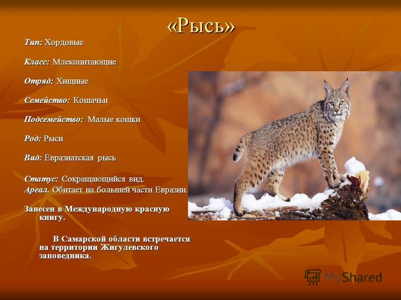 «Рысь» Тип: Хордовые Класс: Млекопитающие Отряд: Хищные Семейство: Кошачьи Подсемейство: Малые кошки Род: Рыси Вид: Евразиатская рысь Статус: Сокращающийся вид. Ареал. Обитает на большей части Евразии. Занесен в Международную красную книгу. В Самарск