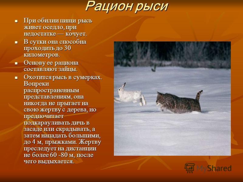 Рацион рыси При обилии пищи рысь живет оседло, при недостатке кочует. При обилии пищи рысь живет оседло, при недостатке кочует. В сутки она способна проходить до 30 километров. В сутки она способна проходить до 30 километров. Основу ее рациона состав