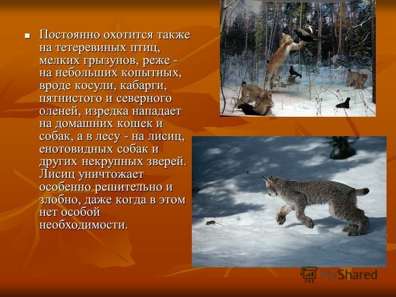 Постоянно охотится также на тетеревиных птиц, мелких грызунов, реже - на небольших копытных, вроде косули, кабарги, пятнистого и северного оленей, изредка нападает на домашних кошек и собак, а в лесу - на лисиц, енотовидных собак и других некрупных з