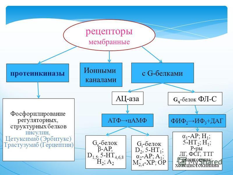 рецепторы мембранные протеинкиназы Ионными каналами с G-белками Фосфорилирование регуляторных, структурных белков инсулин, Цетуксимаб (Эрбитукс) Tрастузумаб (Герцептин) АЦ-аза G q -белок ФЛ-С АТФцАМФ G s -белок β-АР, D 1,5; 5-НТ 4,6,8 Н 2 ; А 2 G i -