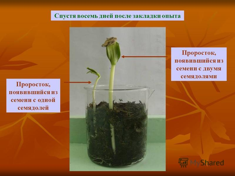 Спустя восемь дней после закладки опыта Проросток, появившийся из семени с двумя семядолями Проросток, появившийся из семени с одной семядолей