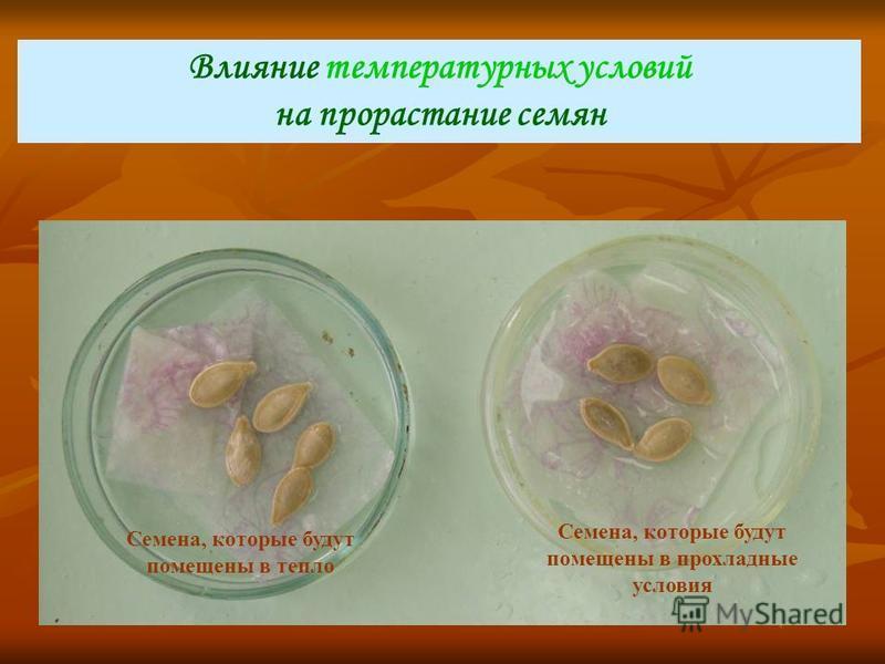 Влияние температурных условий на прорастание семян Семена, которые будут помещены в тепло Семена, которые будут помещены в прохладные условия