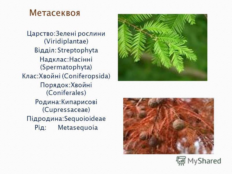 Царство:Зелені рослини (Viridiplantae) Відділ:Streptophyta Надклас:Насінні (Spermatophyta) Клас:Хвойні (Coniferopsida) Порядок:Хвойні (Coniferales) Родина:Кипарисові (Cupressaceae) Підродина:Sequoioideae Рід:Metasequoia