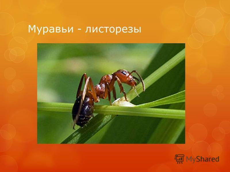 Муравьи - листорезы
