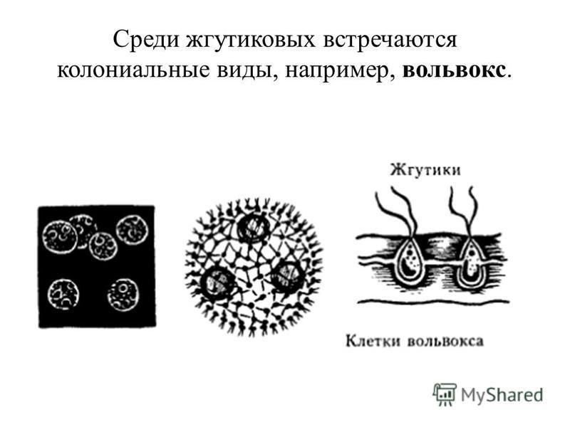 Среди жгутиковых встречаются колониальные виды, например, вольвокс.