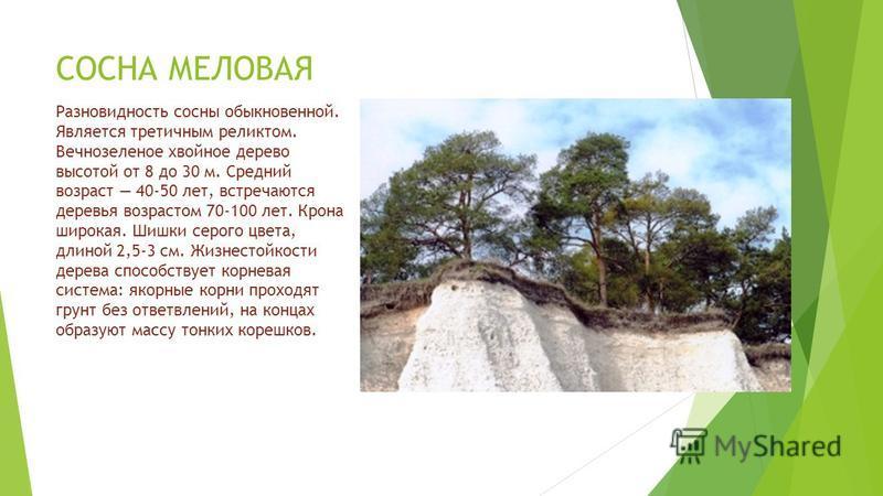 СОСНА МЕЛОВАЯ Разновидность сосны обыкновенной. Является третичным реликтом. Вечнозеленое хвойное дерево высотой от 8 до 30 м. Средний возраст 40-50 лет, встречаются деревья возрастом 70-100 лет. Крона широкая. Шишки серого цвета, длиной 2,5-3 см. Жи