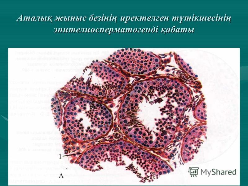 Аталық жыныс безінің иректелген түтікшесінің эпителиосперматогенді қабаты