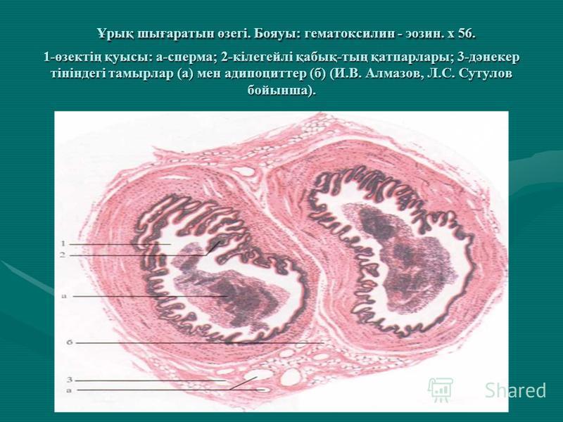 Ұрық шығаратын өзегі. Бояуы: гематоксилин - эозин. х 56. 1-өзектің қуысы: а-сперма; 2-кілегейлі қабық-тың қатпарлары; 3-дәнекер тініндегі тамырлар (а) мен адипоциттер (б) (И.В. Алмазов, Л.С. Сутулов бойынша). Ұрық шығаратын өзегі. Бояуы: гематоксилин