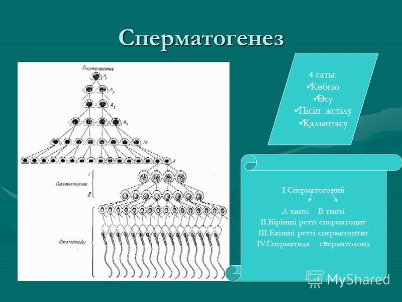 Сперматогенез 4 соты: К ө бею Ө су Пісіп жетілу Қ алыптасу I.Сперматогоний А типті В типті II.Бірінші ретті сперматоцит III.Екінші ретті сперматоцит IV.Сперматида сперматозоид
