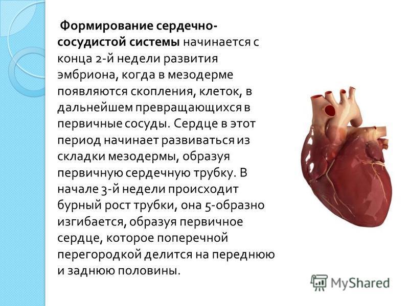 Формирование сердечно - сосудистой системы начинается с конца 2- й недели развития эмбриона, когда в мезодерме появляются скопления, клеток, в дальнейшем превращающихся в первичные сосуды. Сердце в этот период начинает развиваться из складки мезодерм