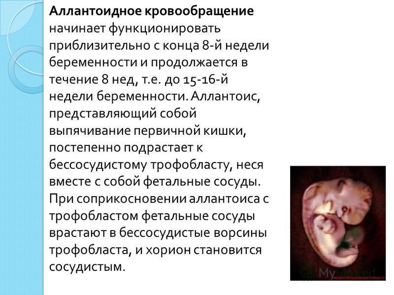 Аллантоидное кровообращение начинает функционировать приблизительно с конца 8- й недели беременности и продолжается в течение 8 нед, т. е. до 15-16- й недели беременности. Аллантоис, представляющий собой выпячивание первичной кишки, постепенно подрас