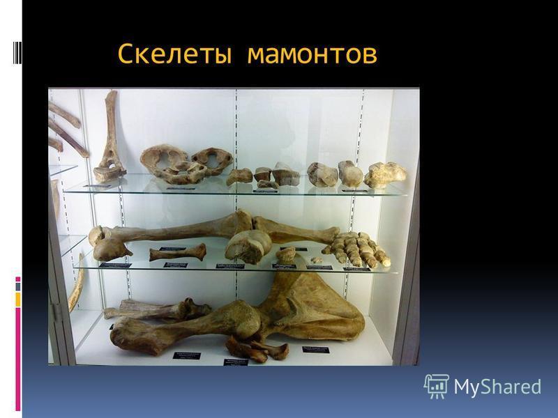 ВЫМИРАНИЕ Мамонты вымерли около 10 тысяч лет назад во время последнего Ледникового периода. По мнению многих учёных, существенную или даже решающую роль в этом вымирании сыграли охотники.