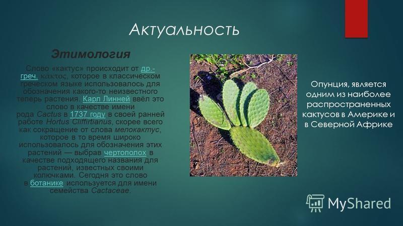 Актуальность Этимология Слово «кактус» происходит от др.- греч. κάκτος, которое в классическом греческом языке использовалось для обозначения какого-то неизвестного теперь растения. Карл Линней ввёл это слово в качестве имени рода Cactus в 1737 году