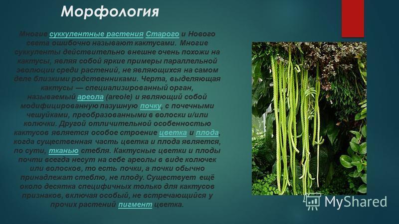 Морфология Многие суккулентные растения Старого и Нового света ошибочно называют кактусами. Многие суккуленты действительно внешне очень похожи на кактусы, являя собой яркие примеры параллельной эволюции среди растений, не являющихся на самом деле бл