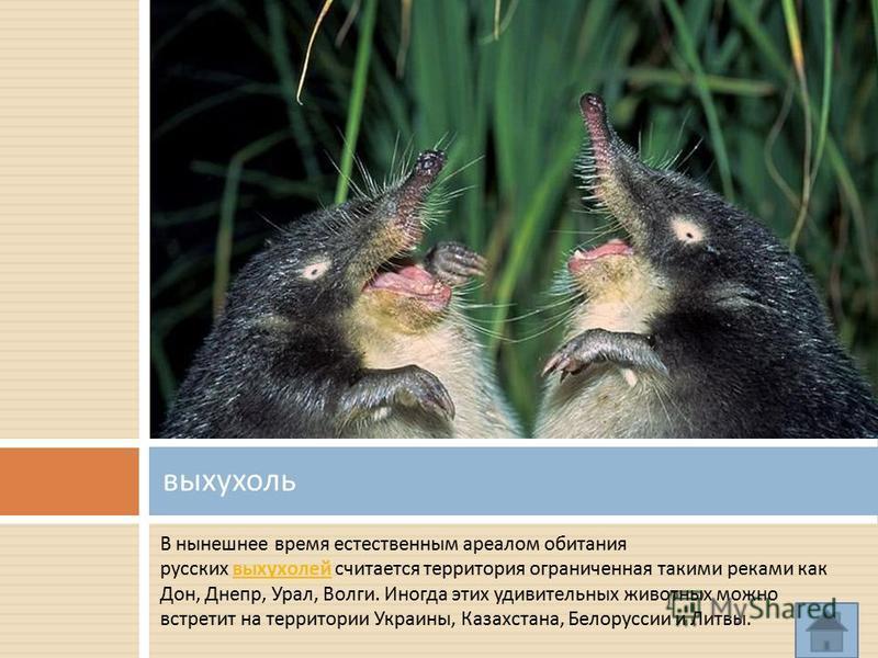 В нынешнее время естественным ареалом обитания русских выхухолей считается территория ограниченная такими реками как Дон, Днепр, Урал, Волги. Иногда этих удивительных животных можно встретит на территории Украины, Казахстана, Белоруссии и Литвы. выху