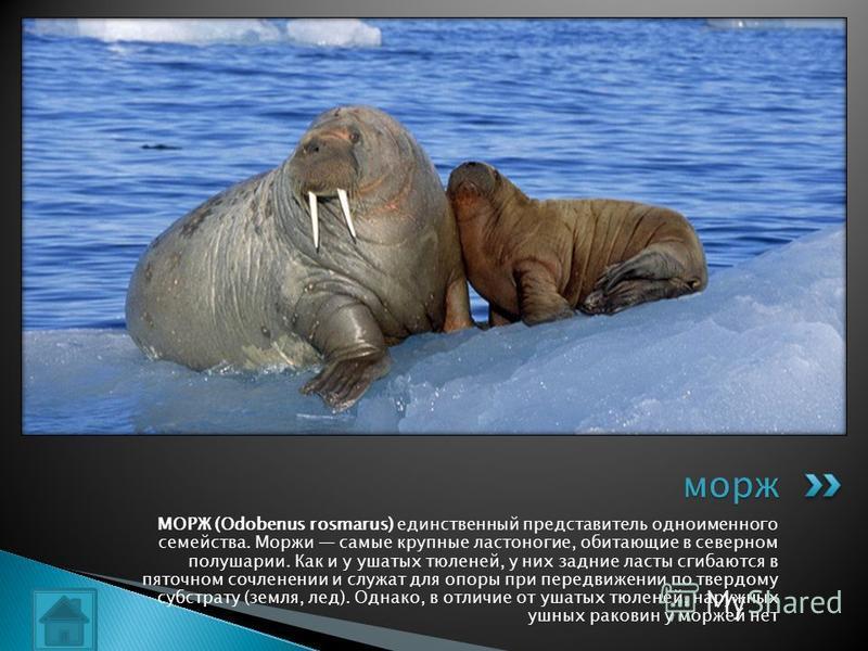 МОРЖ (Odobenus rosmarus) единственный представитель одноименного семейства. Моржи самые крупные ластоногие, обитающие в северном полушарии. Как и у ушатых тюленей, у них задние ласты сгибаются в пяточном сочленении и служат для опоры при передвижении