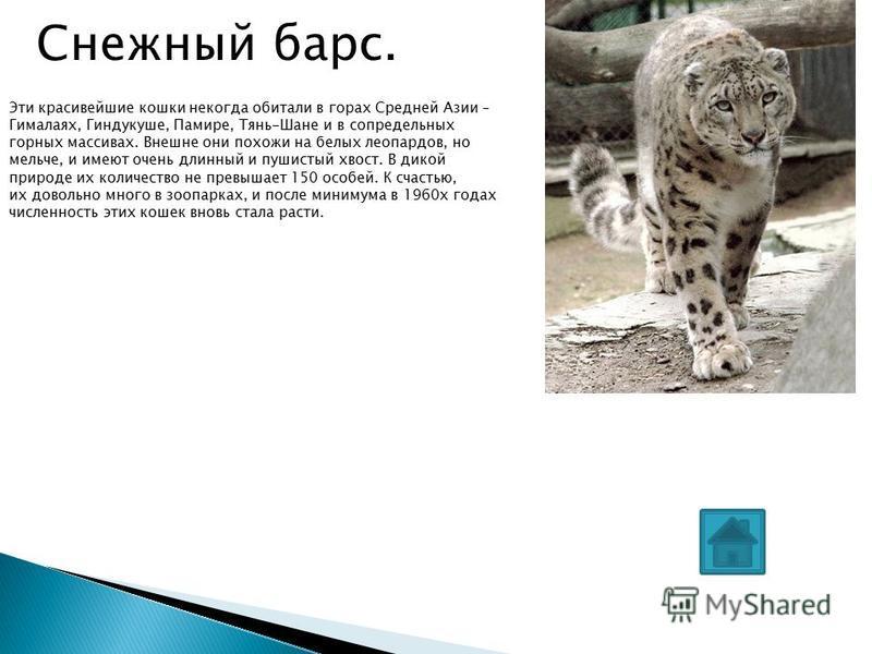 Снежный барс. Эти красивейшие кошки некогда обитали в горах Средней Азии – Гималаях, Гиндукуше, Памире, Тянь-Шане и в сопредельных горных массивах. Внешне они похожи на белых леопардов, но мельче, и имеют очень длинный и пушистый хвост. В дикой приро