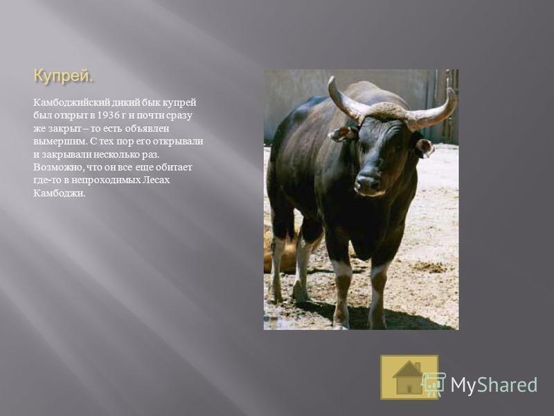 Купрей. Камбоджийский дикий бык купрей был открыт в 1936 г и почти сразу же закрыт – то есть объявлен вымершим. С тех пор его открывали и закрывали несколько раз. Возможно, что он все еще обитает где - то в непроходимых Лесах Камбоджи.