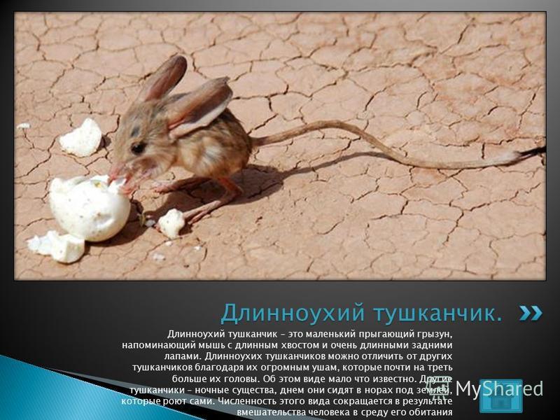 Длинноухий тушканчик – это маленький прыгающий грызун, напоминающий мышь с длинным хвостом и очень длинными задними лапами. Длинноухих тушканчиков можно отличить от других тушканчиков благодаря их огромным ушам, которые почти на треть больше их голов