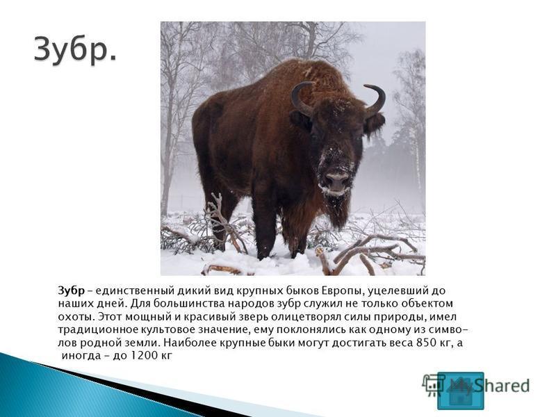 Зубр - единственный дикий вид крупных быков Европы, уцелевший до наших дней. Для большинства народов зубр служил не только объектом охоты. Этот мощный и красивый зверь олицетворял силы природы, имел традиционное культовое значение, ему поклонялись ка