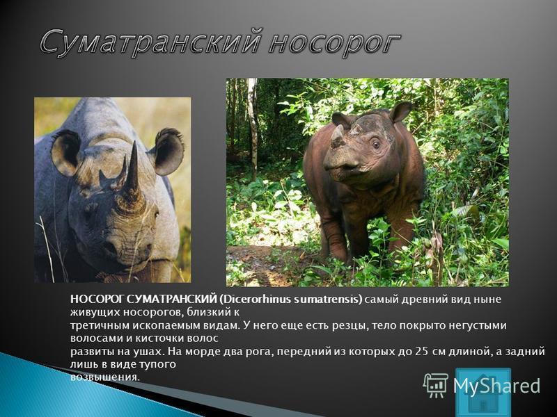 НОСОРОГ СУМАТРАНСКИЙ (Dicerorhinus sumatrensis) самый древний вид ныне живущих носорогов, близкий к третичным ископаемым видам. У него еще есть резцы, тело покрыто негустыми волосами и кисточки волос развиты на ушах. На морде два рога, передний из ко