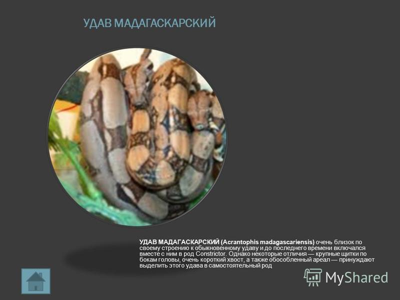 УДАВ МАДАГАСКАРСКИЙ УДАВ МАДАГАСКАРСКИЙ (Acrantophis madagascariensis) очень близок по своему строению к обыкновенному удаву и до последнего времени включался вместе с ним в род Constrictor. Однако некоторые отличия крупные щитки по бокам головы, оче