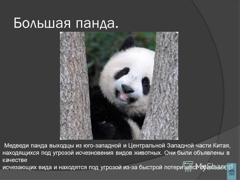 Большая панда. Медведи панда выходцы из юго-западной и Центральной Западной части Китая, находящихся под угрозой исчезновения видов животных. Они были объявлены в качестве исчезающих вида и находятся под угрозой из-за быстрой потери мест обитания.