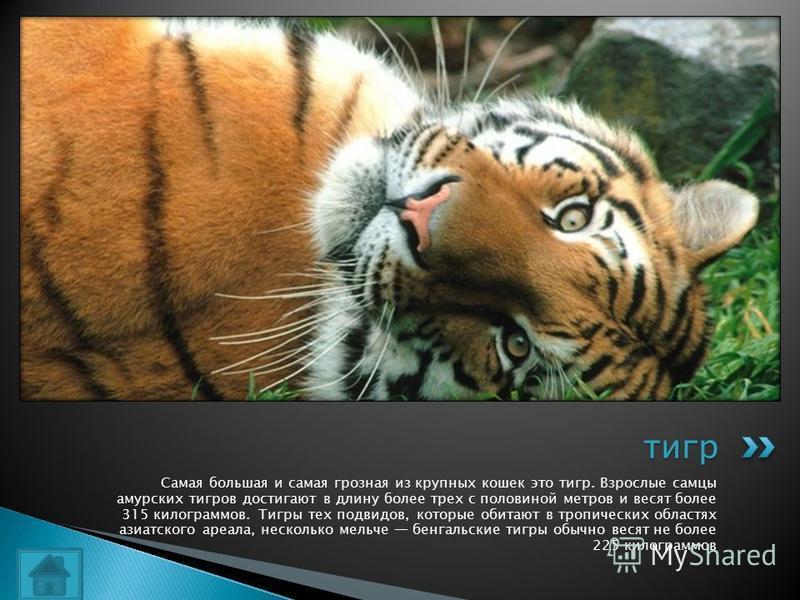 Самая большая и самая грозная из крупных кошек это тигр. Взрослые самцы амурских тигров достигают в длину более трех с половиной метров и весят более 315 килограммов. Тигры тех подвидов, которые обитают в тропических областях азиатского ареала, неско