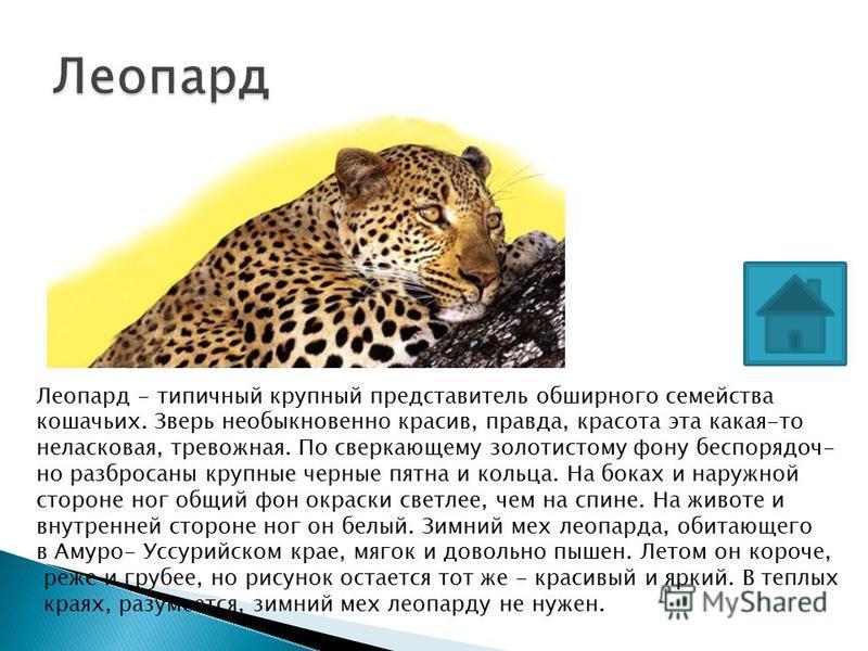 Леопард - типичный крупный представитель обширного семейства кошачьих. Зверь необыкновенно красив, правда, красота эта какая-то неласковая, тревожная. По сверкающему золотистому фону беспорядочно разбросаны крупные черные пятна и кольца. На боках и н