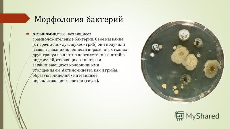 Морфология бактерий Актиномицеты - ветвящиеся грамположительные бактерии. Свое название (от греч. actis - луч, mykes - гриб) они получили в связи с возникновением в пораженных тканях друз-гранул из плотно переплетенных нитей в виде лучей, отходящих о