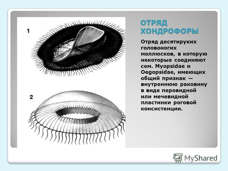 ОТРЯД ХОНДРОФОРЫ Отряд десятируких головоногих моллюсков, в которую некоторуе соединяют сем. Myopsidae и Oegopsidae, имеющих общий признак внутреннюю раковину в виде перовидной или мечевидной пластинки роговой консистенции.