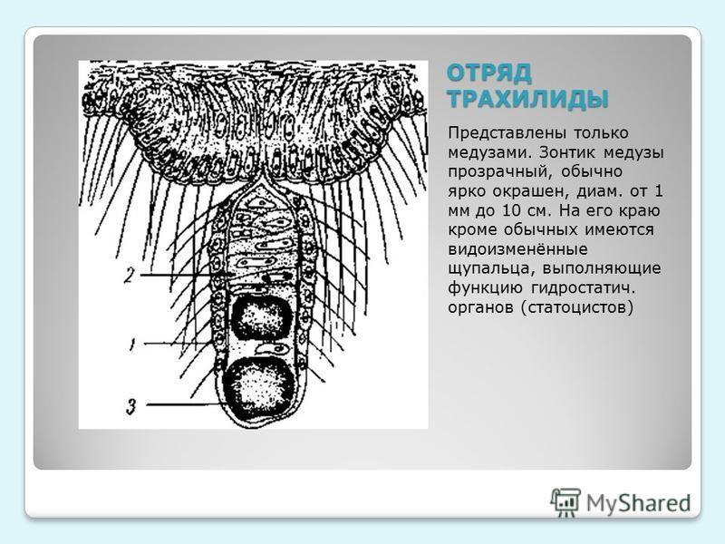 ОТРЯД ТРАХИЛИДЫ Представлены только медузами. Зонтик медузы прозрачный, обычно ярко окрашен, диам. от 1 мм до 10 см. На его краю кроме обычных имеются видоизменённые щупальца, выполняющие функцию гидростатич. органов (статоцистов)