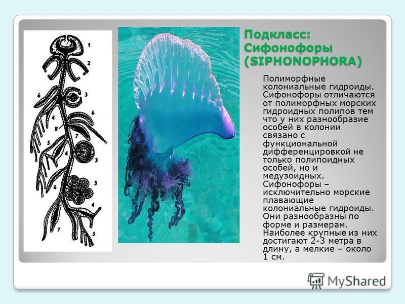 Подкласс: Сифонофору (SIPHONOPHORA) Полиморфные колониальные гидроиды. Сифонофору отличаются от полиморфных морских гидроидных полипов тем что у них разнообразие особей в колонии связано с функциональной дифференцировкой не только полипоидных особей,