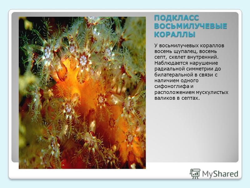 ПОДКЛАСС ВОСЬМИЛУЧЕВЫЕ КОРАЛЛЫ У восьмилучевых кораллов восемь щупалец, восемь септ, скелет внутренний. Наблюдается нарушение радиальной симметрии до билатеральной в связи с наличием одного сифоноглифа и расположением мускулистых валиков в септах.