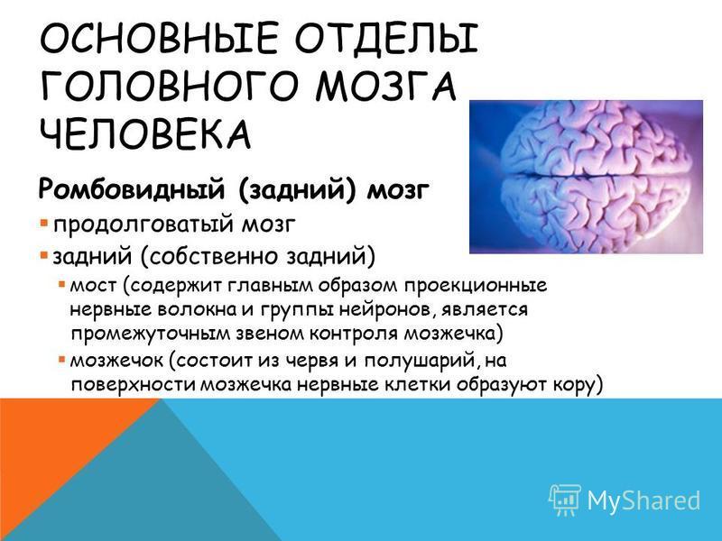 ОСНОВНЫЕ ОТДЕЛЫ ГОЛОВНОГО МОЗГА ЧЕЛОВЕКА Ромбовидный (задний) мозг продолговатый мозг задний (собственно задний) мост (содержит главным образом проекционные нервные волокна и группы нейронов, является промежуточным звеном контроля мозжечка) мозжечок
