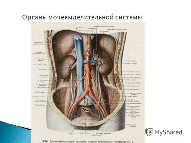 Органы мочевыделительной системы Органы мочевыделительной системы