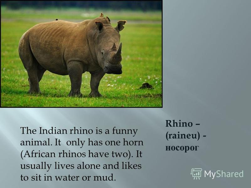 Rhino – (raineu) - носорог The Indian rhino is a funny animal. It only has one horn (African rhinos have two). It usually lives alone and likes to sit in water or mud.