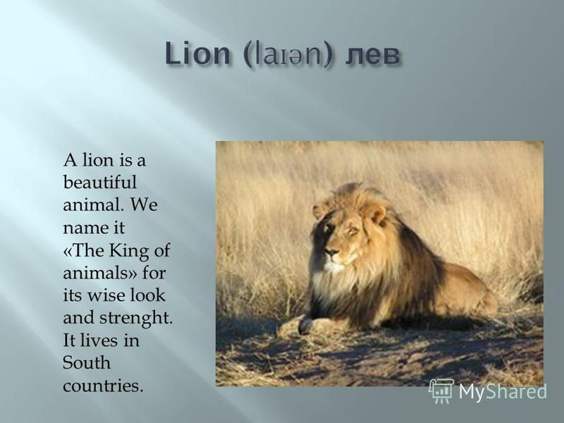 A lion is a beautiful animal. We name it «The King of animals» for its wise look and strenght. It lives in South countries.