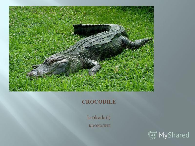 CROCODILE kr ɒ kəda ɪ l) крокодил