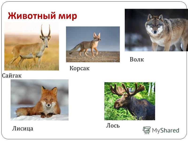 Животный мир Сайгак Волк Лисица Корсак Лось