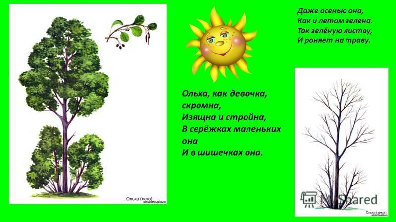 Даже осенью она, Как и летом зелена. Так зелёную листву, И роняет на траву. Ольха, как девочка, скромна, Изящна и стройна, В серёжках маленьких она И в шишечках она.