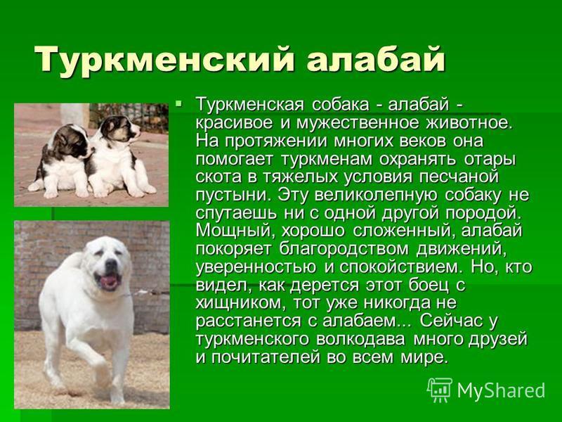 Туркменский алабай Туркменская собака - алабай - красивое и мужественное животное. На протяжении многих веков она помогает туркменам охранять отары скота в тяжелых условия песчаной пустыни. Эту великолепную собаку не спутаешь ни с одной другой породо